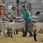 4-H youth showing sheep at fair
