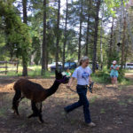 4-H member leading their alpaca