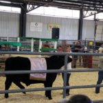 4-H member leads her champion steer at the livestock auction