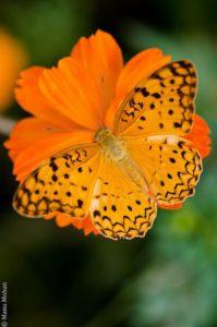 Butterfly on an orange flower