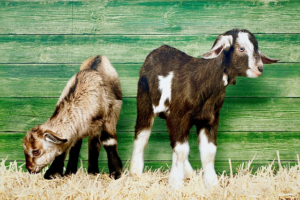 Two baby goats.