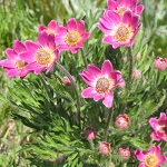 Anemone multifida flowers