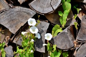 Bindweed growing in woodpile