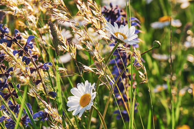 Wildflowers, native grasses, and daisies in a field